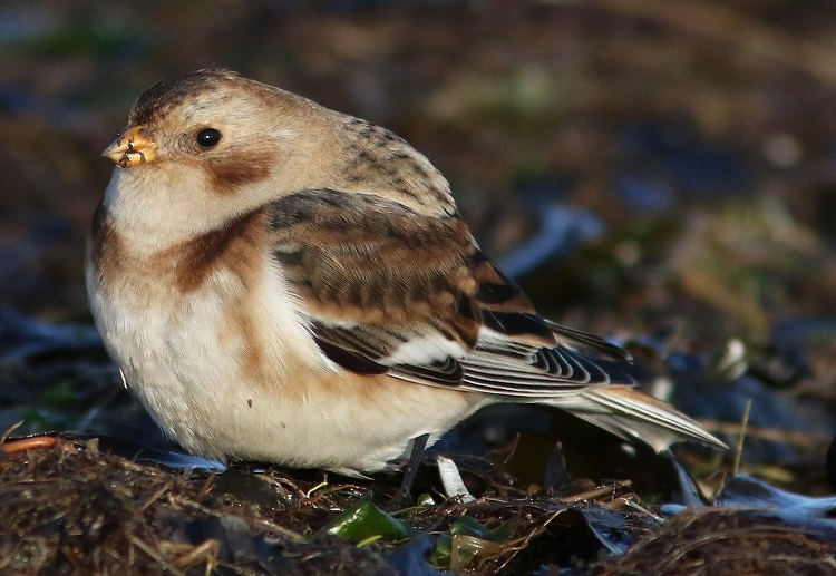 Snow bunting, Grune point, 2020-12-15, Nick Franklin