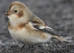 Snow Bunting, Grune Point, 18-Dec-17, Roger Ridley
