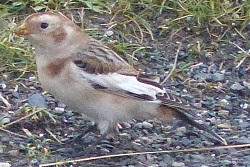 Snow Bunting, Silecoft, Andrew Cockcroft