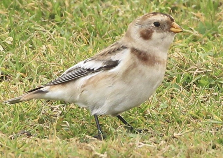 Snow Bunting, Workington, 2020-11-02, Derek Mcalone