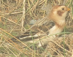Snow Bunting, Workington, Steve Dutton