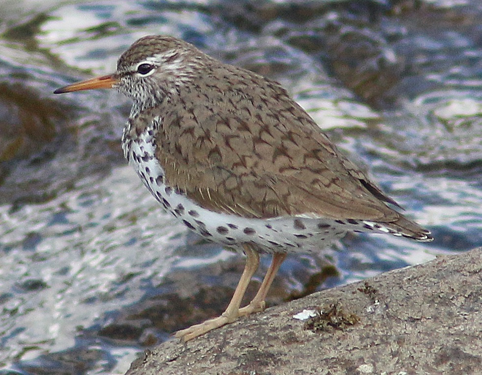 Spotted sandpiper, Buttermere, Nick Franklin