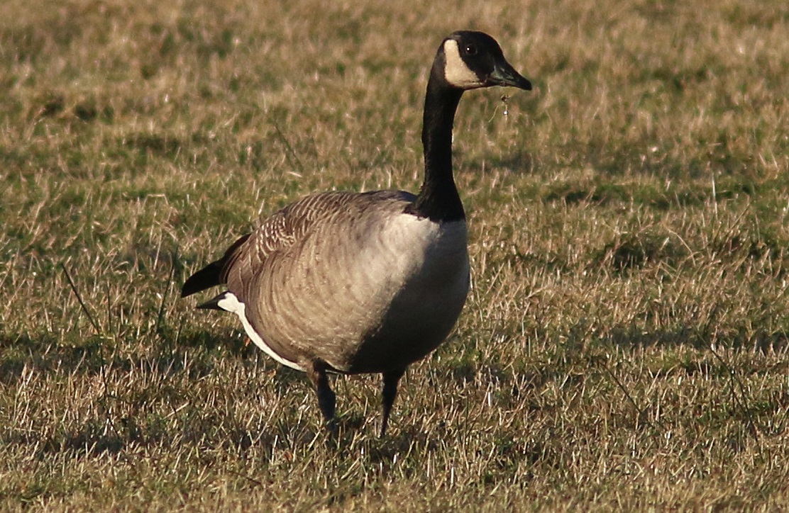 Todd's Canada Goose, Cardurnock, 9 January 2019, Nick Franklin