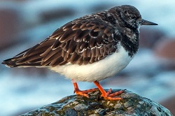Turnstone, Parton Beach, Tony Marsh