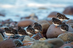 Turnstones, Parton Beach, Tony Marsh