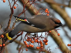 Waxwing, Kingstown Road Carlisle, 17th Dec 2016, Roger Ridley