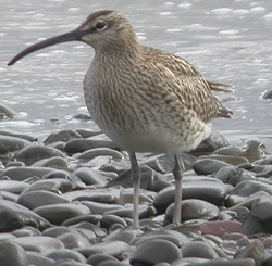 Whimbrel, Bowness-on-Solway, Darren Robson