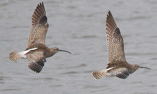 Whimbrel on migration, Drumburgh Marsh, 4/5/18, Tommy Holden