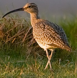 Whimbrel, Drumburgh, Darren Robson