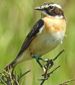 Whinchat, 5 years old, RSPB Geltsdale