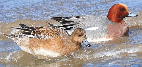 Wigeon, Bowness Railings, 19/3/18, Tommy Holden