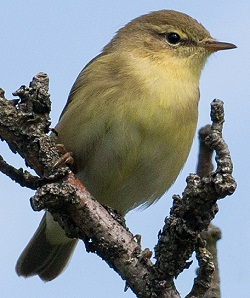 Willow Warbler, Tony Marsh
