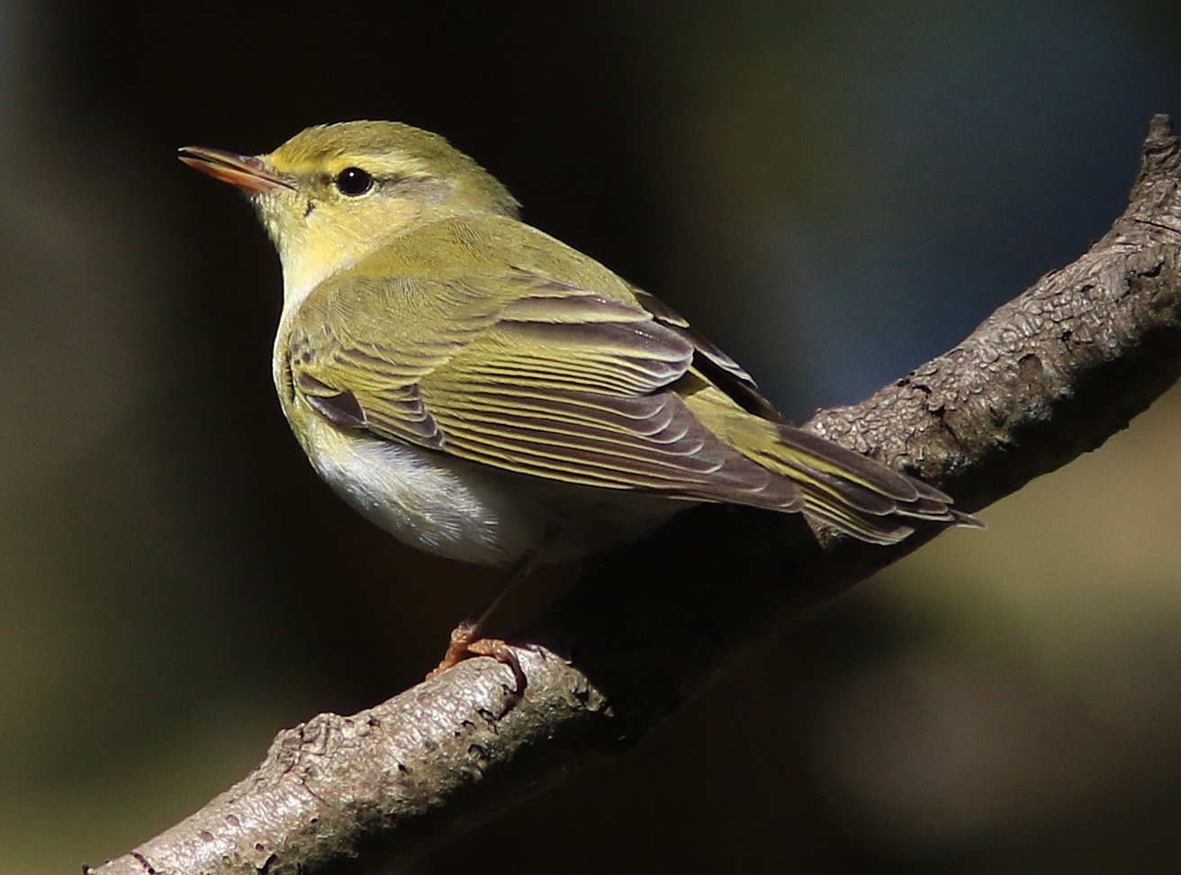 Wood warbler. Miltonrigg, 2020-05-06, Nick Franklin