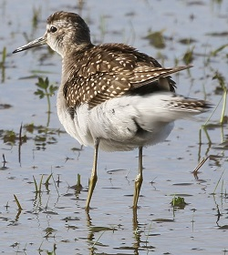 Wood Sandpiper, 17/10/17, Haverigg, Doug Radford