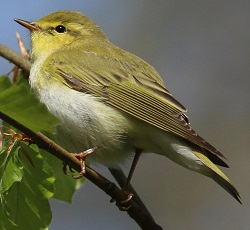 Wood Warbler, Miltonrigg, Nick Franklin