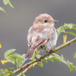 Woodchat Shrike, Brigsteer, Lou Cross
