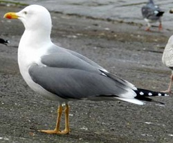 Yellow-legged Gull, Whitehaven, Derek McAlone