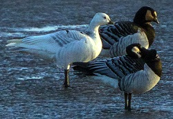 leucistic Barnacle Goose, west of Anthorn village, Tony Marsh